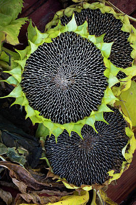 Photograph - Sunflower 01 by Edgar Laureano