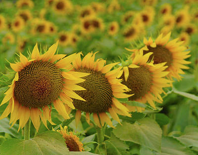 Photograph - Sunflower 0859 by Don Wolf