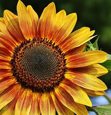 Photograph - Sunflower 1 by Bruce Bley