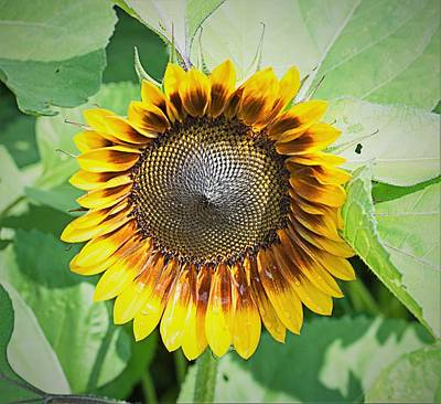 Jolly Old Saint Nick - Sunflower 1 by Charles HALL