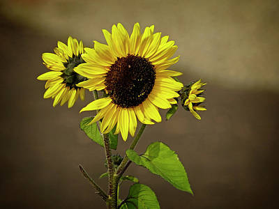 Photograph - Sunflower 1 by Inge Riis McDonald