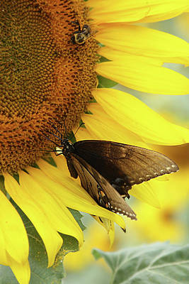 Photograph - Sunflower 1 by Louis Jones