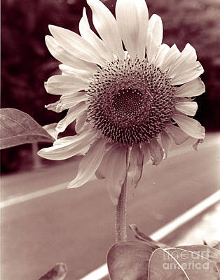 Photograph - Sunflower 1 by Mukta Gupta
