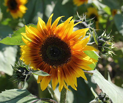 Photograph - Sunflower 101 by Mary Bedy