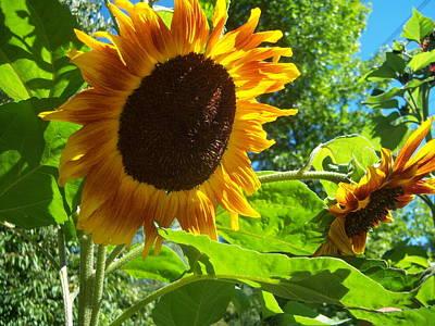 Sunflower 122 Art Print by Ken Day