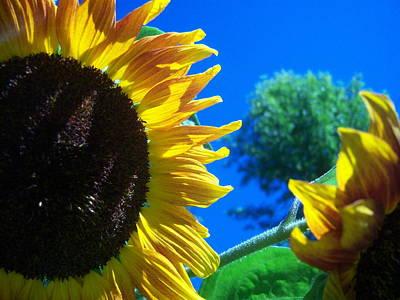 Sunflower 138 Art Print by Ken Day