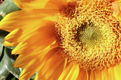 Photograph - Sunflower 150 by Mary Bedy