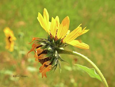 Photograph - Sunflower 184 Double Bloom by Kae Cheatham