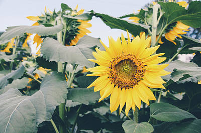Photograph - Sunflower 19 #sunflowers by Andrea Anderegg