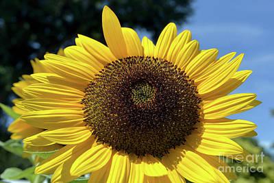 Kitchen Mark Rogan - Sunflower 1997a by Terri Winkler