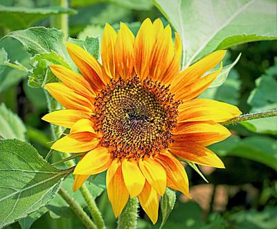 Photograph - Sunflower 2 by Charles HALL
