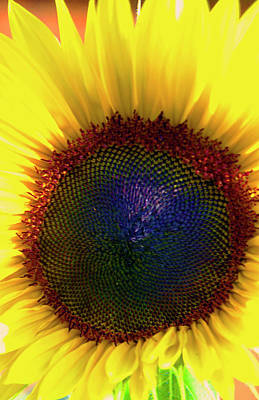 Photograph - Sunflower 2 by Gary Brandes
