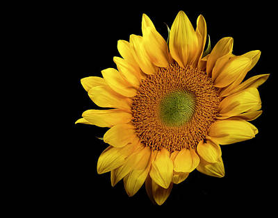 Photograph - Sunflower 2 by James Sage