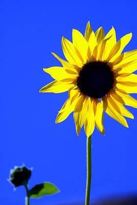 Sunflower 2 Art Print by Marty Koch