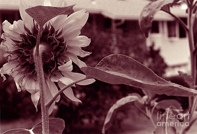 Photograph - Sunflower 2 by Mukta Gupta