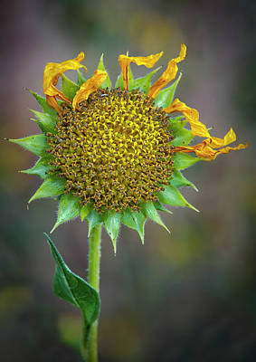Photograph - Sunflower 2 by Rick Mosher