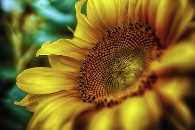 Photograph - Sunflower 2006 by Plamen Petkov