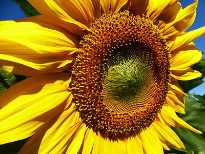 Sunflower 2015 12 Art Print by Tina M Wenger