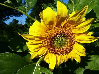 Fushia Photograph - Sunflower 2015 13 by Tina M Wenger