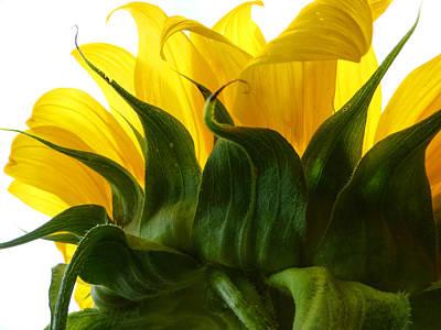 Fushia Photograph - Sunflower 2015 2 by Tina M Wenger