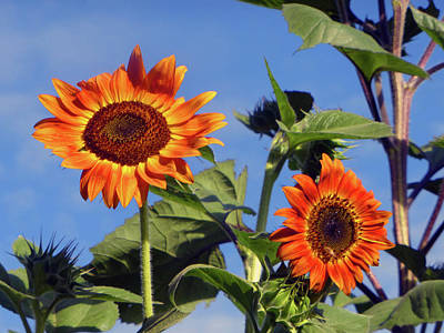 Photograph - Sunflower 2016 1 Of 5 by Tina M Wenger