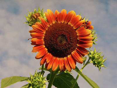 Photograph - Sunflower 2016 2 Of 5 by Tina M Wenger