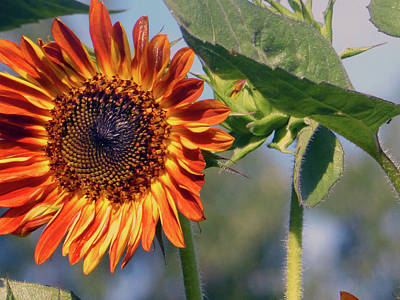 Sunflower 2016 3 Of 5 Art Print by Tina M Wenger