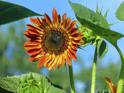 Photograph - Sunflower 2016 5 Of 5 by Tina M Wenger