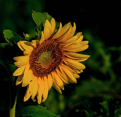 Art Print featuring the photograph Sunflower 2017 11 by Buddy Scott