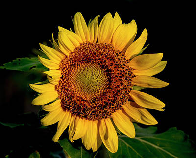 Art Print featuring the photograph Sunflower 2017 12 by Buddy Scott