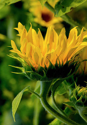Art Print featuring the photograph Sunflower 2017 13 by Buddy Scott