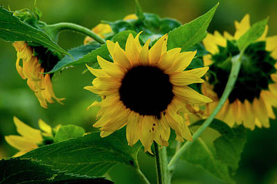 Art Print featuring the photograph Sunflower 2017 5 by Buddy Scott