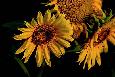Art Print featuring the photograph Sunflower 2017 7 by Buddy Scott