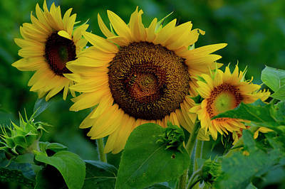 Art Print featuring the photograph Sunflower 2017 9 by Buddy Scott