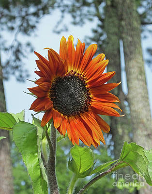 Photograph - Sunflower 24  by Lizi Beard-Ward