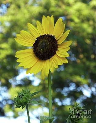 Photograph - Sunflower 27 by Lizi Beard-Ward