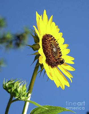 Photograph - Sunflower 30 by Lizi Beard-Ward