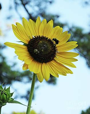 Photograph - Sunflower 32 by Lizi Beard-Ward