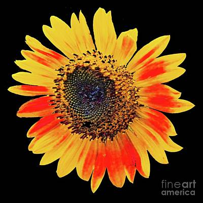 Photograph - Sunflower 34 by Lizi Beard-Ward