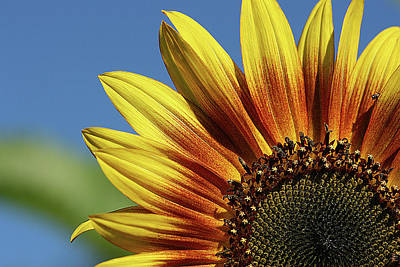 Photograph - Sunflower 38 by Cindi Ressler