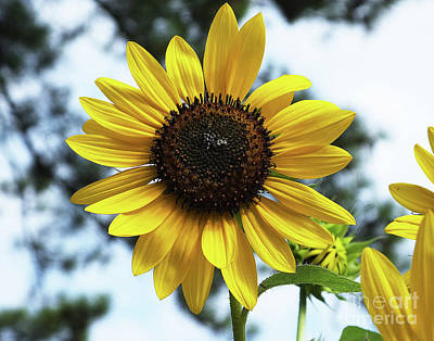 Photograph - Sunflower 39 by Lizi Beard-Ward