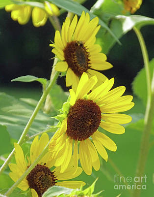 Photograph - Sunflower 48 by Lizi Beard-Ward
