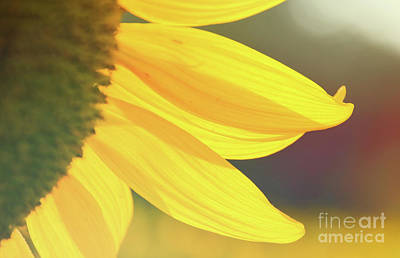 Photograph - Sunflower 5 by Andrea Anderegg