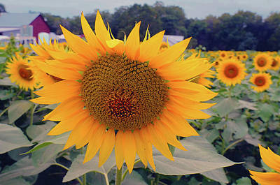 Photograph - Sunflower A by Don Wolf