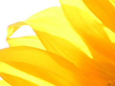 Photograph - Sunflower Abstract 1 by Dan Whittemore