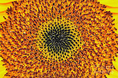 Sunflower Abstract Art Print by Kaye Menner