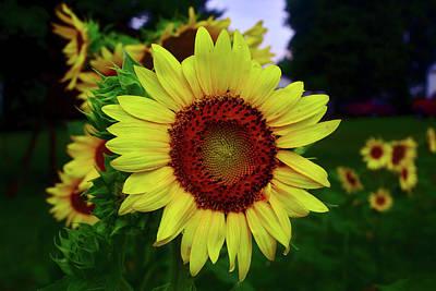 Photograph - Sunflower After A Summer Rain by Brad Chambers