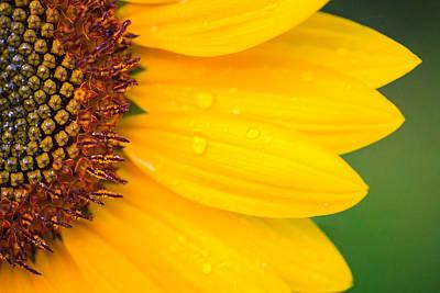 Photograph - Sunflower After The Rain by Joni Eskridge