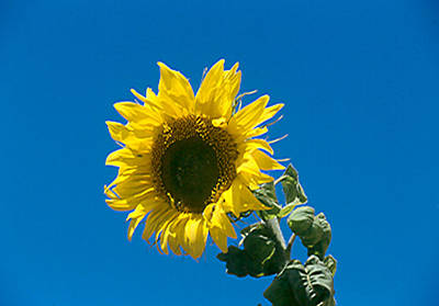 Photograph - Sunflower Against Blue Sky by Bonnie Muir