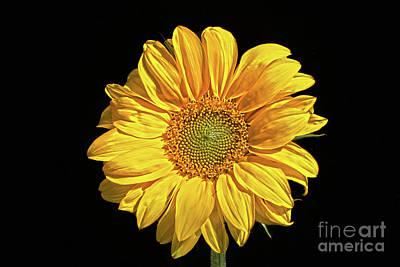 Photograph - Sunflower by Alan Harman